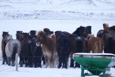 Tiefkühl-Ponys