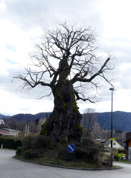 Die älteste Eiche Kärntens - als Verkehrsinsel