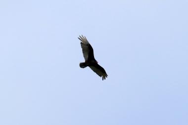 American Condor
