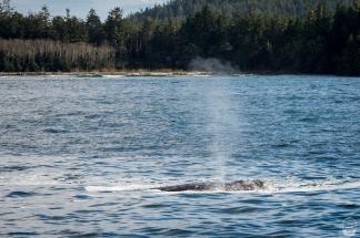 """...und noch einer; zumindest deren Fontänen. In 90% der Fälle liefern Wale keine """"größere Show"""" ab."""