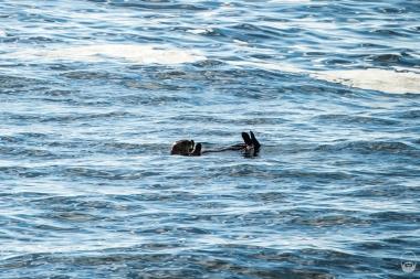 """Was die unzähligen Seeotter, die im Clayoquot Sound """"herumliegen""""..."""