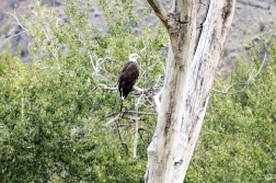 Bald Eagle bei Kamloops