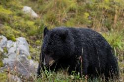 Schwarzbär beim Dessert (Kleesüchtig sind sie alle) in Whistler
