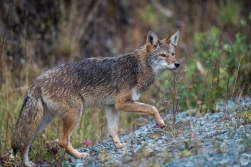 Coyote in Squamish
