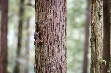 Squirrel in den Wälder von Egmont