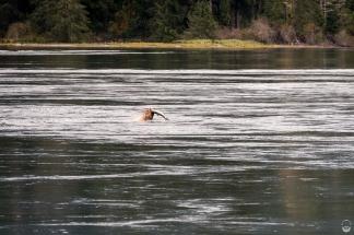 Seelöwe mit Lachsbeute in den Skookumchuck Rapids