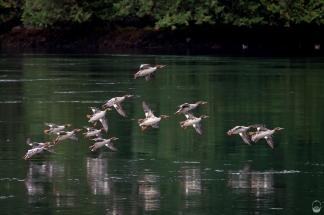 Jagdgeschwader Ente im Sechelt Inlet