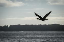 Canada Goose über dem Clayqouot Sound