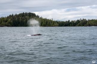 Ein weiterer Grauwal...