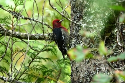 Red-headed Woodpecker am Wonderland Lake.