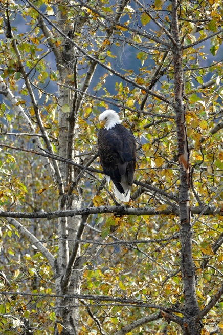 Bald Eagle am Heckmann Pass