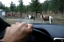 Pferde im Fraser Canyon