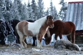Übrigens ist die Ponydichte hier höher als die Einwohnerzahl.