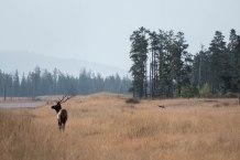 Ein Wapiti Hirsch wacht über das Szenario.