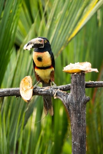 Mein erster und leider einzig fotografierter Tukan in Costa Rica.